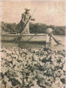 Johnny Leverock tending his oyster beds 1957