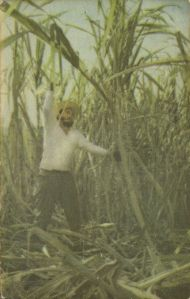 Rebel socialist leader Fidel (Castro) showing workers in the cane field that he can carry his own weight in the cutting of cane.